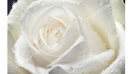 Фототапет голяма роза крем