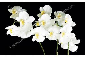 бели орхидеи клонка на черен фон 2