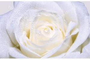 Фототапети голяма роза крем