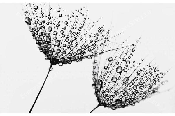 Фототапети глухарчета водни капки черно и бяло