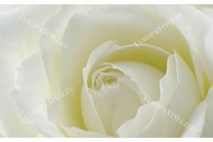 Фототапети макро роза бяла с меки зелени оттенъци