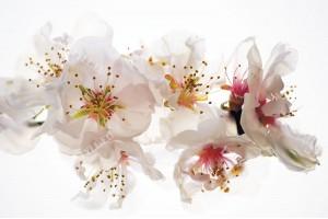 Фототапет нежна феерия от пролетен цвят
