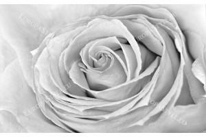 Фототапети голяма роза сива