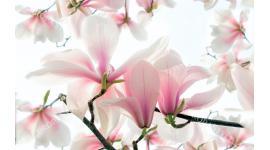 Фототапет цвят магнолия в нежно розов цвят