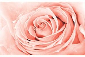 Фототапети голяма роза корал