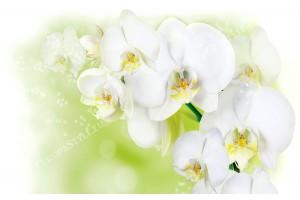 Фототапет клонка бяла орхидея на светло зелен фон