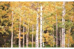 Фототапети пъстра брезова гора