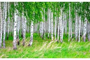 Фототапет брезова гора пролетен изглед