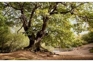 Фототапет величествено дърво зелен цвят