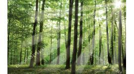 Фототапет зелена слънчева гора
