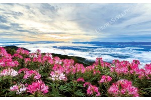 панорама изглед розови цветя с облаци хоризонт