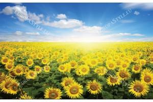 Фототапети поле със слънчогледи