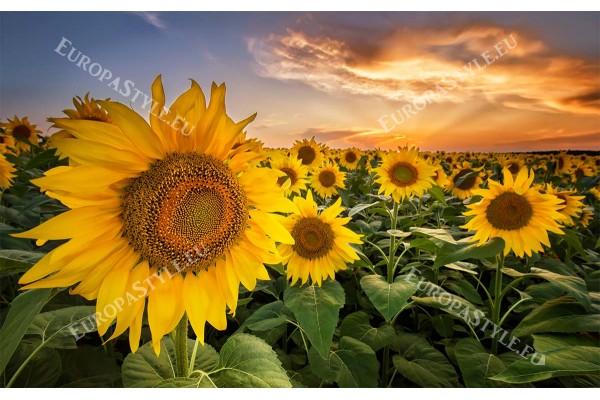 Фототапети големи слънчогледи поле при залез