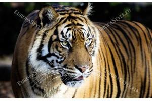 Фототапет голям бенгалски тигър