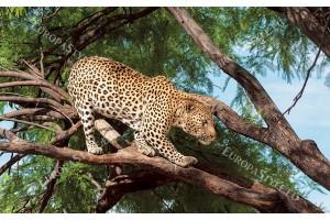 Фототапет леопард дебнещ на дърво