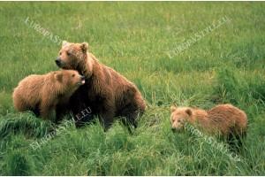 Фототапет кафяви мечки на поляна