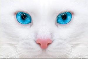 Фототапети бяла котка със сини очи