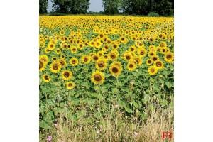 Фототапет узрял слънчоглед поле