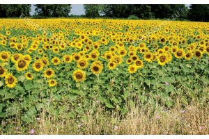 узрял слънчоглед поле