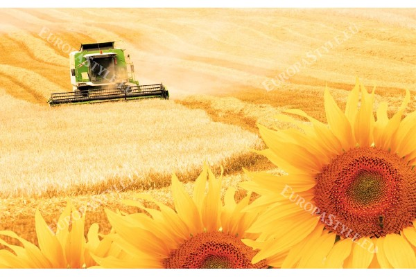 Фототапети комбайн в полето и слънчогледи