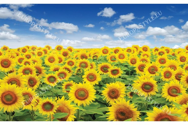 Фототапети красиво поле от слънчогледи